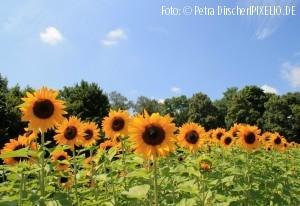 Sonnenblumen_klein-300x206
